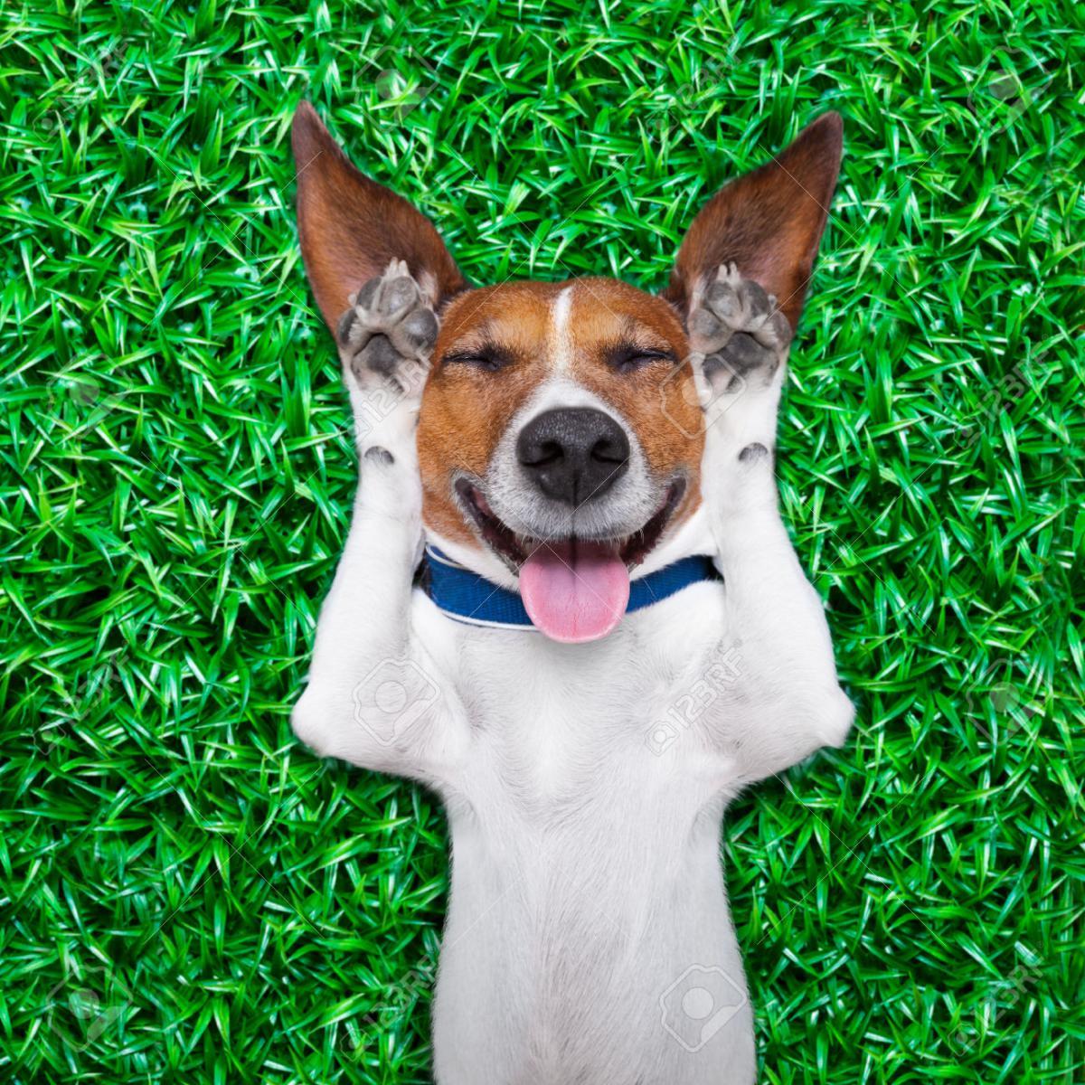 Nombre:  30507562-perro-tumbado-en-la-hierba-con-la-expresi-n-tonta-tonta-loca-en-el-rostro-pegado-a-la-l.jpg Visitas: 259 Tamaño: 302.1 KB